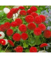 Sedmikráska pomponková červená - Bellis perennis - prodej semen sedmikrásky - 0,1 g