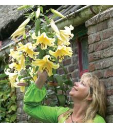 Lilie Honeymoon - Lilium - prodej cibulovin - 1 ks