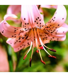 Lilie Pink tiger - Lilium - prodej cibulovin - 1 ks