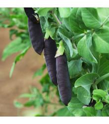 Hrách fialový Blauwschokker - Pisum sativum - prodej semen - 25 ks