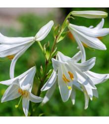 Lilie bělostná - Lilium candidum - prodej cibulovin - 1 ks