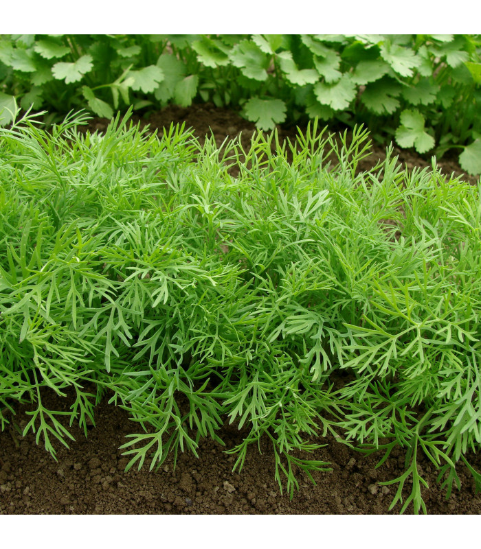 Kopr vonný Ella - Anethum graveolens - semena - 400 ks