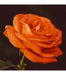 Růže velkokvětá pnoucí oranžová - Rosa - prodej prostokořenných sazenic růží - 1 ks