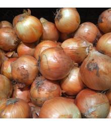 More about Cibule sazečka Sturon - Allium cepa - prodej cibulek - 100 g