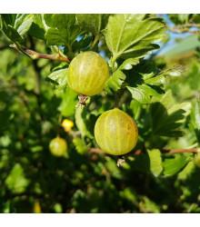 Angrešt bílý - Ribes uva-crispa - prodej prostokořenných sazenic angreštů - 1 ks
