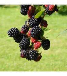 Ostružiník beztrnný černý - Rubus - prodej prostokořenných sazenic ostružiníků - 1 ks