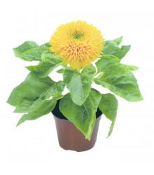 Slunečnice Teddy Bear - Helianthus annuus - prodej semen slunečnice - 15 ks