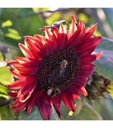 More about Slunečnice Moulin Rouge - Helianthus annuus - prodej semen slunečnice - 8 ks