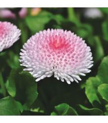 Sedmikráska chudobka Tasso růžová s červeným středem - Bellis perennis - prodej semen sedmikrásky - 50 ks